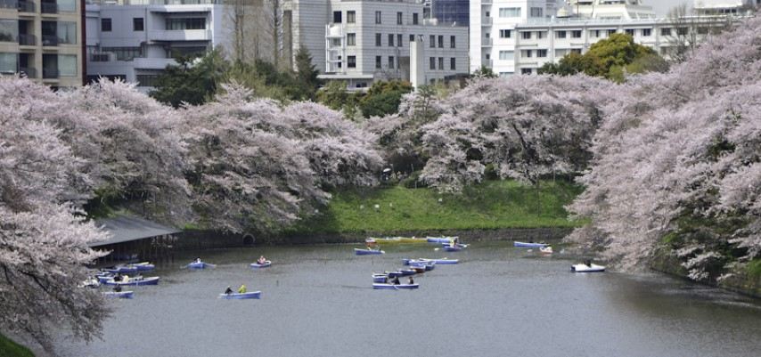 Cherry Blossoms Imperial Palace