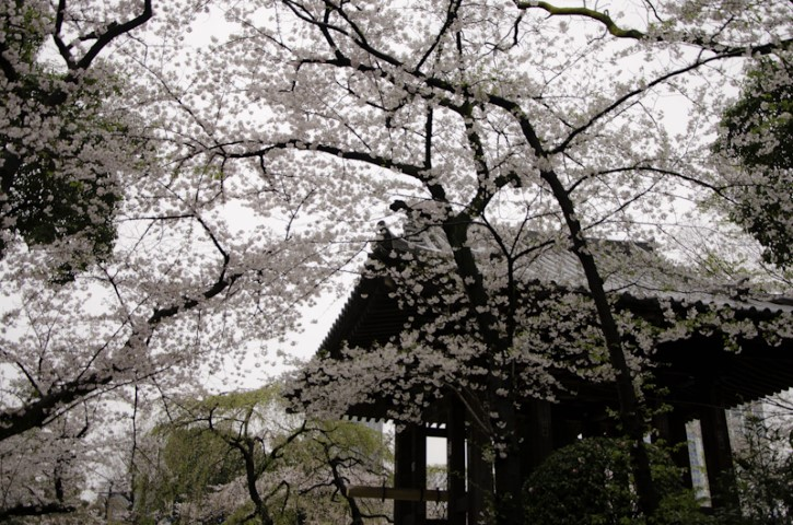 Temple blossoms