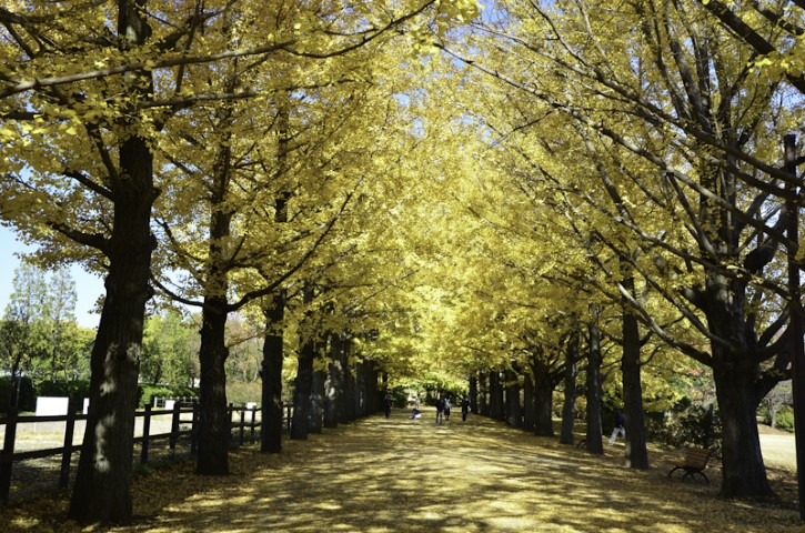 Ginko Trees, Showa Park