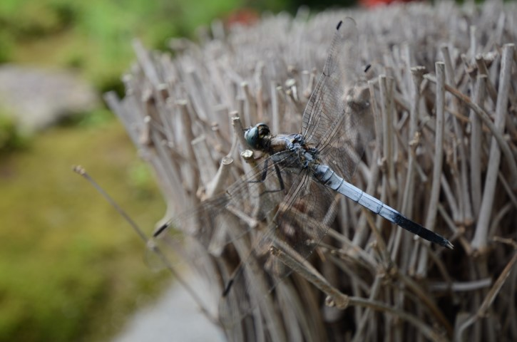 Dragonfly on Bamboo